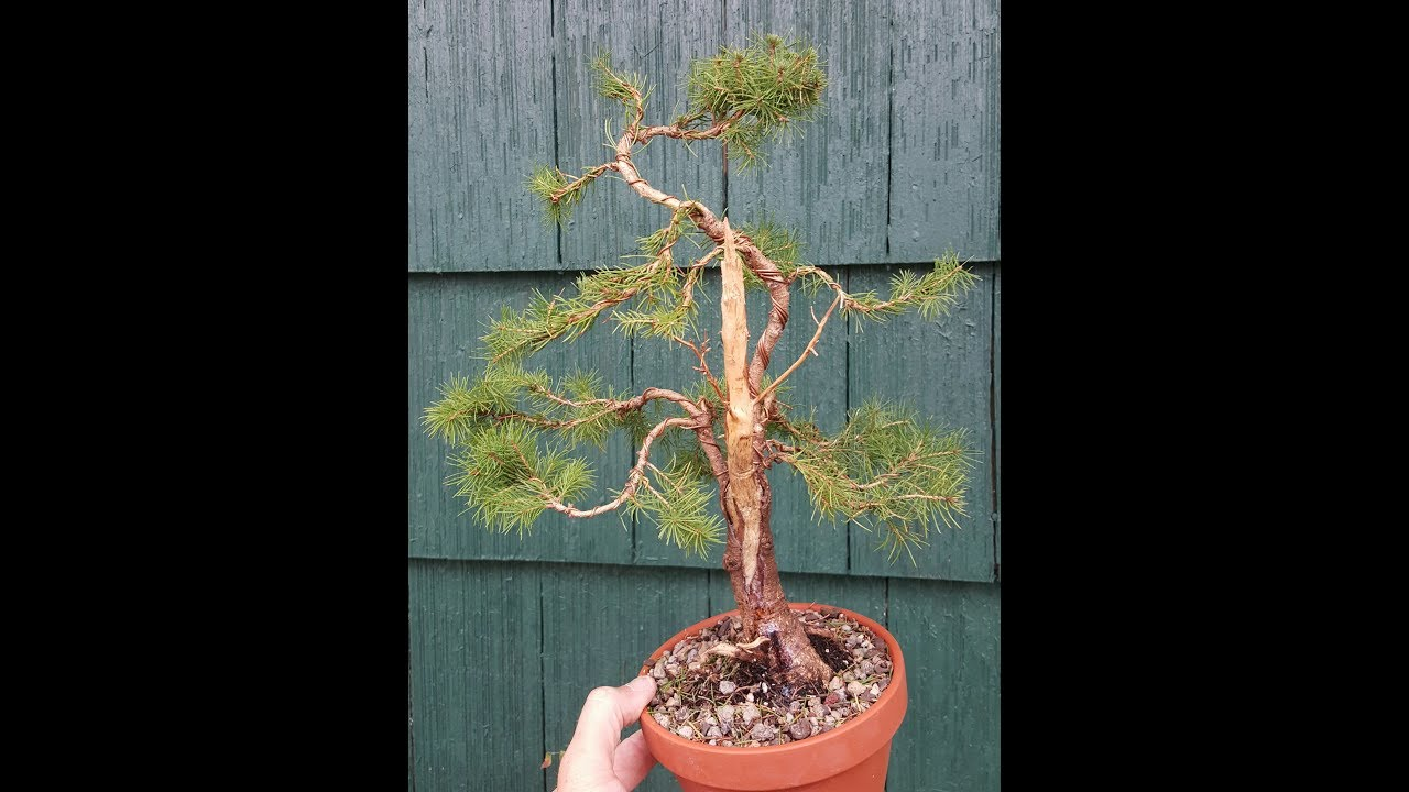 Dwarf Alberta Spruce Bonsai Trees Styles Types How To YouTube - Black hills spruce bonsai trees