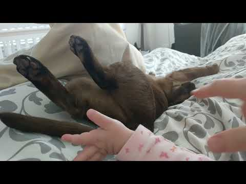 Burmese cat Matilda not afraid of the baby