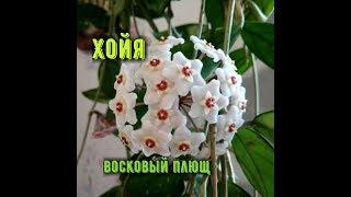 Как цветет Хойя , Восковый плющь ( лиана ) ?