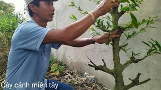 Hướng dẫn ghép mai đơn giản | Dung Tran