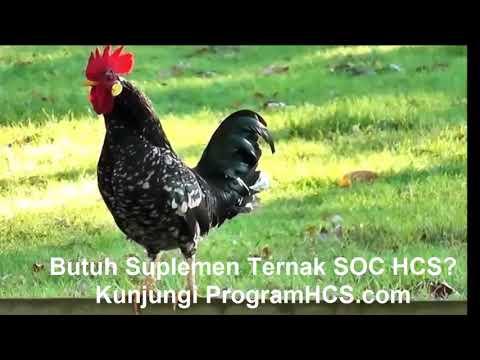 Suara Ayam Jago Berkokok Merdu Panjang Banget - Koleksi Download Terlengkap