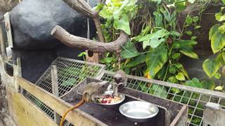 cover image for Bearded emperor tamarins eating fruit 4k