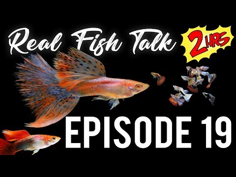 Fancy Guppy Fish Tank Talk. Ep. 19 - 2 HOUR SPECIAL