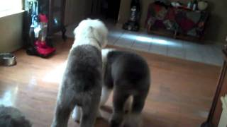Home Again Chip saves Texas Old English Sheepdog