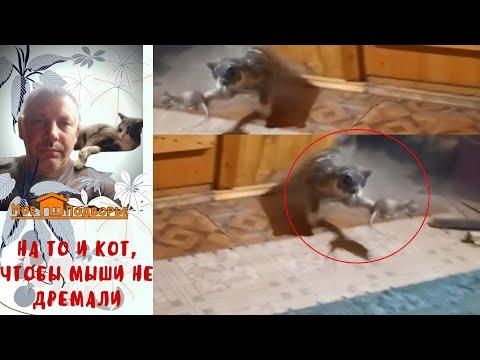 Вопрос: Кто лучший крысолов – кот или кошка И какой породы?