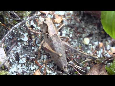 Dark bush Cricket - Engispretta í skóginum - Krybba - Grashoppari  - Skordýr