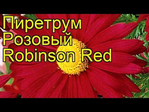 Пиретрум розовый Робинзон Ред. Краткий обзор, описание характеристик, где купить саженцы