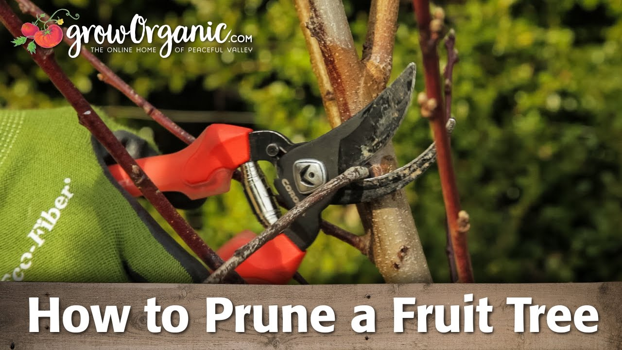How To Prune Organic Bare Root Fruit Trees