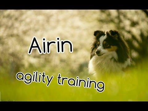 Sheltie Airin - 12 months | AGILITY TRAINING! | 20.4. 2016
