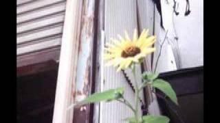 笹川美和 - 向日葵
