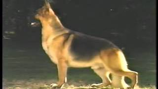 The Official Akc German Shepherd Dog Breed Standard - Part 1 Of 2