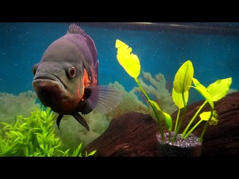 OSCAR FISH BEST CARE