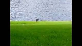 Чёрно-белая кулик-сорока питается