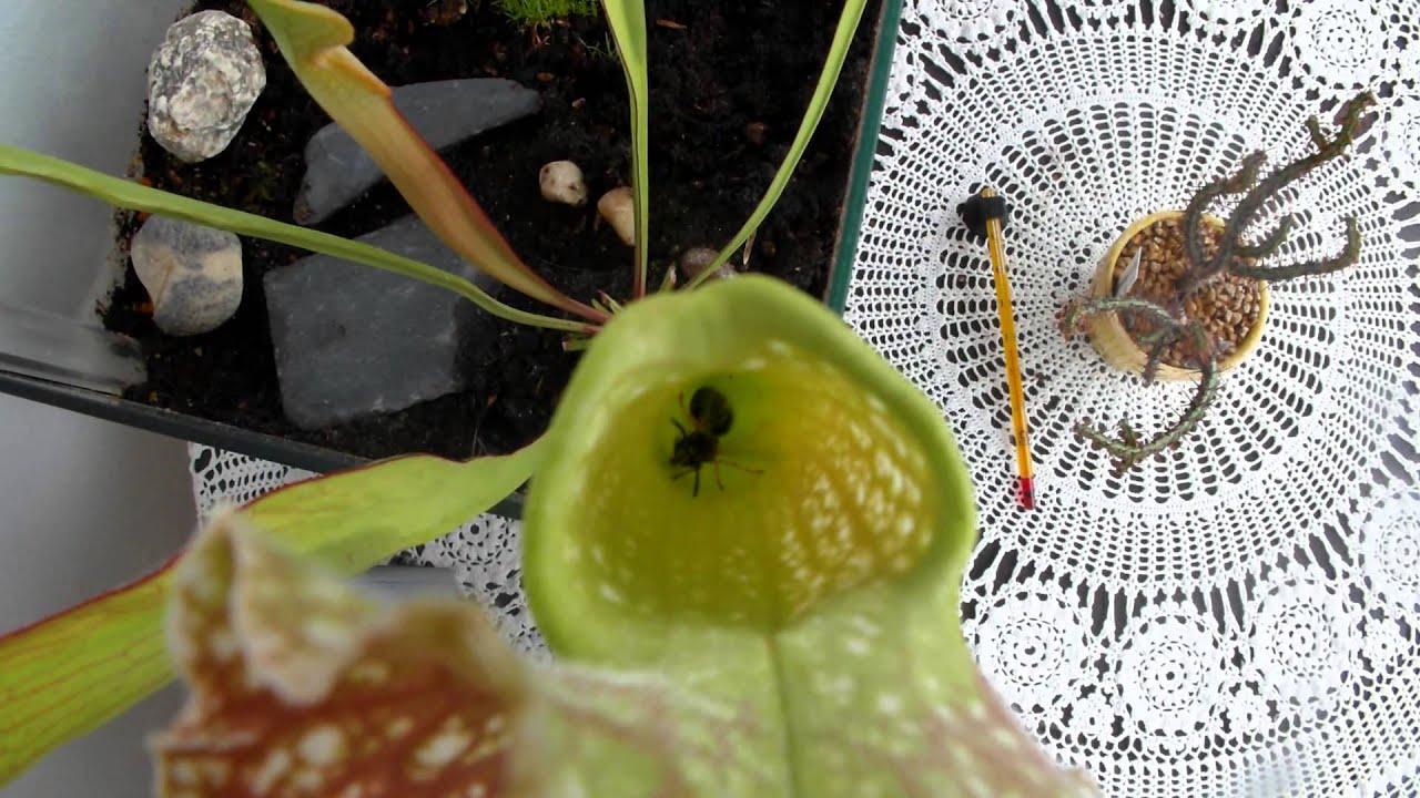 eine wespe beim versuch einer sarracenia schlauchpflanze zu entkommen youtube. Black Bedroom Furniture Sets. Home Design Ideas