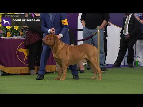 Dogue do Bordeaux | Breed Judging 2020