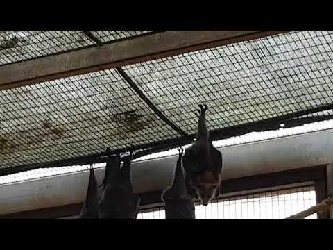 A group of Grey-headed flying foxes and their enclosure