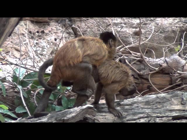 Capuchin monkey mount / Cópula macaco-prego
