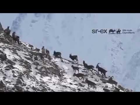 Красивое козёл охотники всем мира Таджикистана на мургабе