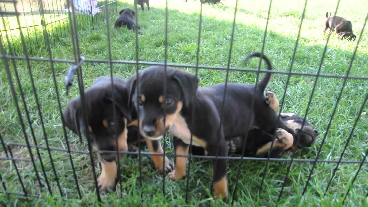 Rescue Pups Rottie Doberman Mix Youtube