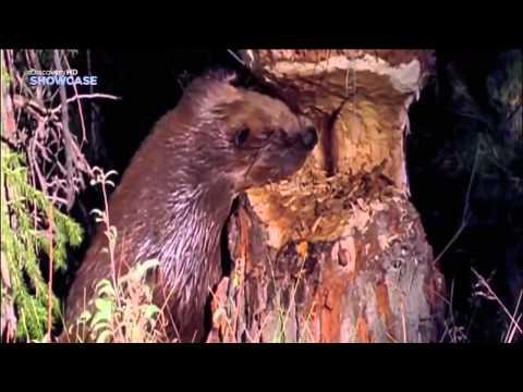 Наука и техника Что строят животные - Видео онлайн