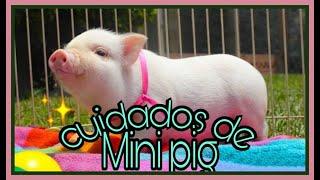 Mini pig mascota🐽 Cuidados y verdades 2018.