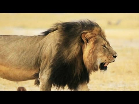 Killing of Cecil the lion raises questions about conservation