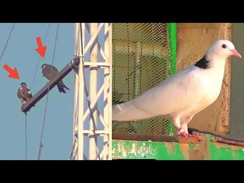 Сокола едят добычу выпускаю голубей/Peregrine Falcon and feasting I release doves