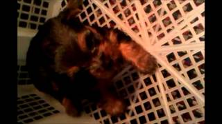 Four Weeks Old Yorkshire Terrier