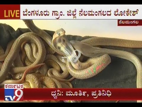38 Baby Snakes Found in Nelamangala | He Brought 90 Days Ago Field