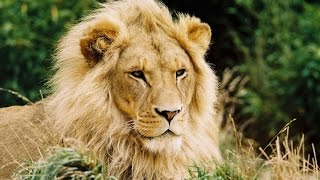 ► Lions Documentary - National Geographic - African Lions Full Documentary | HD