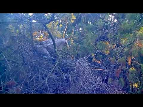 Havørn angriper store hegreunger
