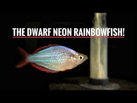 MORE NEW FISH!   Praecox Rainbowfish