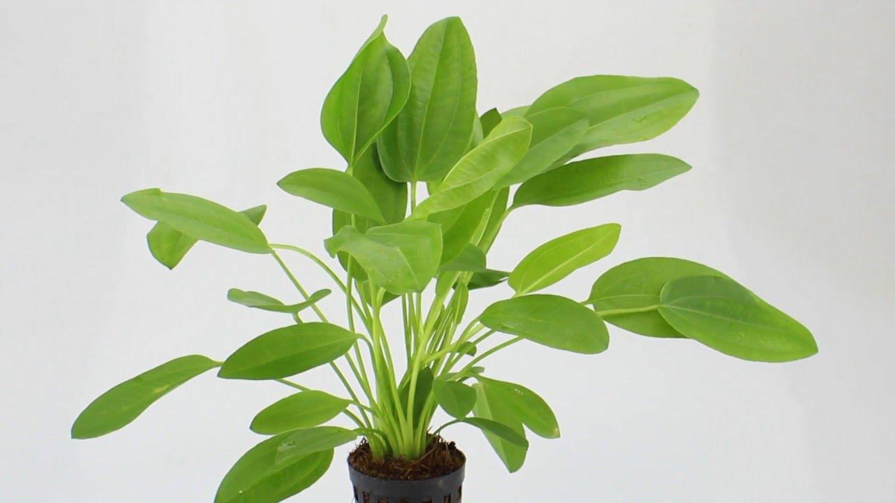 Картинки по запросу echinodorus cordifolius mini
