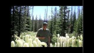 Magnificent Blooms Of Bear Grass In The Sapphire Mountains East of Hamilton, Montana