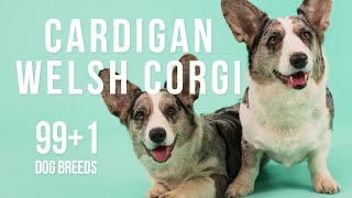 Cardigan Welsh Corgi / 99+1 Dog Breeds