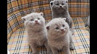 Вислоухие котята с мамой  )