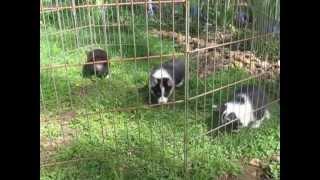 Three Corgis For Sale In Oregon