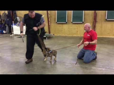 "Early Puppy Protection Training ""Galaxy"" 9 Wk Super Star In Development"
