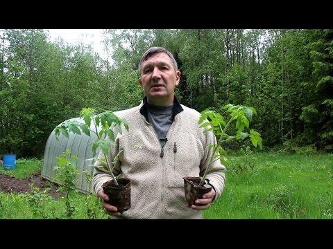 Чем полить рассаду чтобы лучше росла Цветы в саду