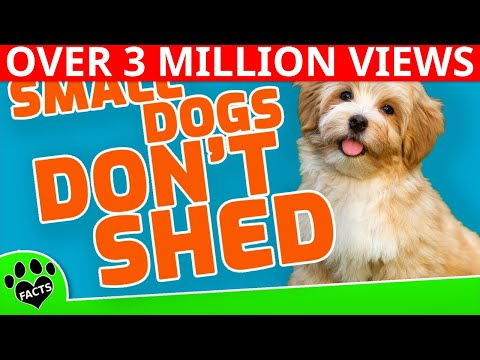 10 Small Dog Breeds That Don't Shed Small Non Shedding Dogs 101 - Animal Facts