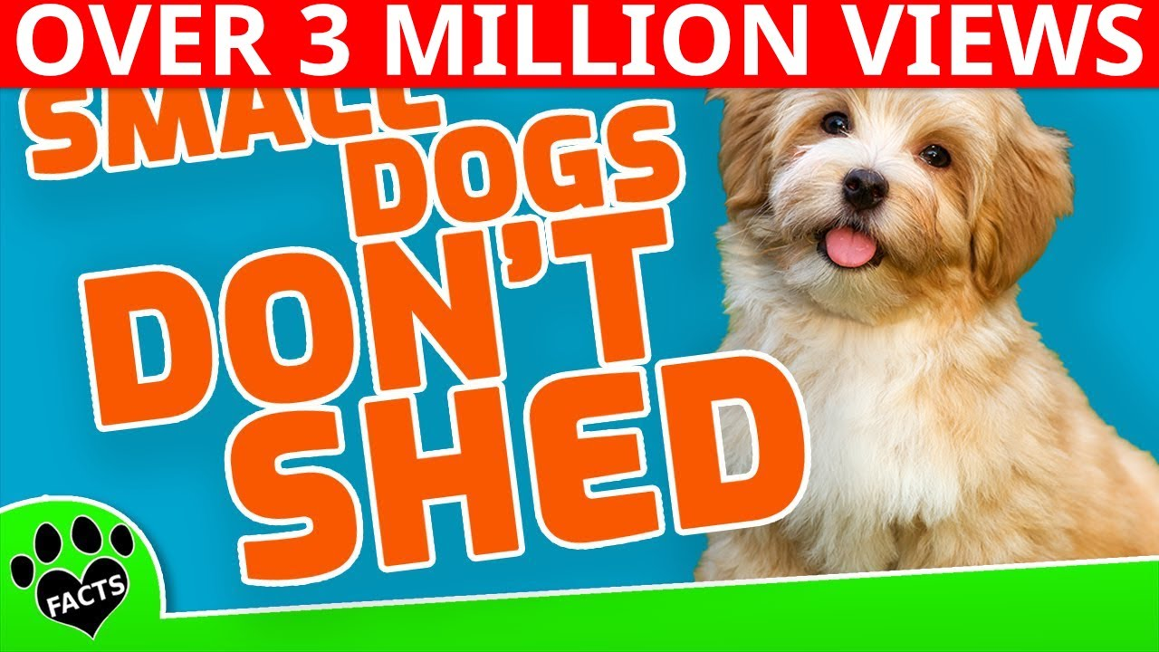 4568704ea12 Top 10 Small Dog Breeds That Don't Shed - YouTube