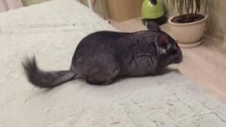 Как Кошка И Шиншилла Играют Вместе!! / How the cat and chinchilla play