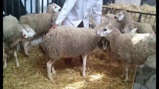 Contention d'un mouton - sheep handling