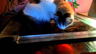 Кошка и аквариум)