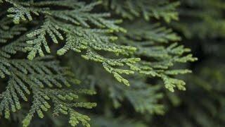 видео Посадочный материал. Многолетние и почвопокровные растения. Ирис