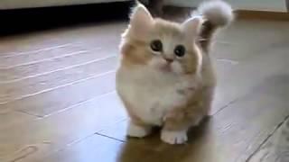 Мега мимимишный котёнок манчкина