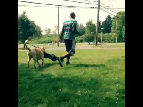 140lbs XXL pitbull  jumps a moving car to attack man