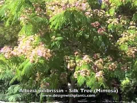 Albizia julibrissin silk tree mimosa youtube albizia julibrissin silk tree mimosa mightylinksfo