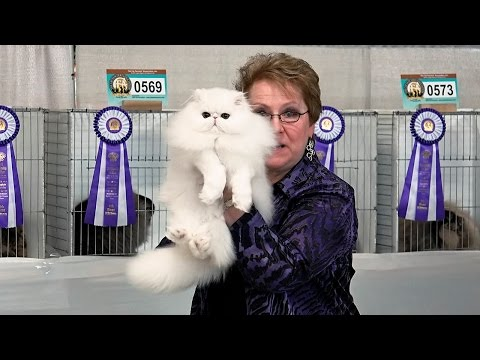 CFA World Show 2014, Rachel Anger longhair kitten final