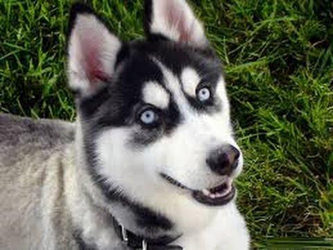Alaskan Klee Kai - Dog Breed